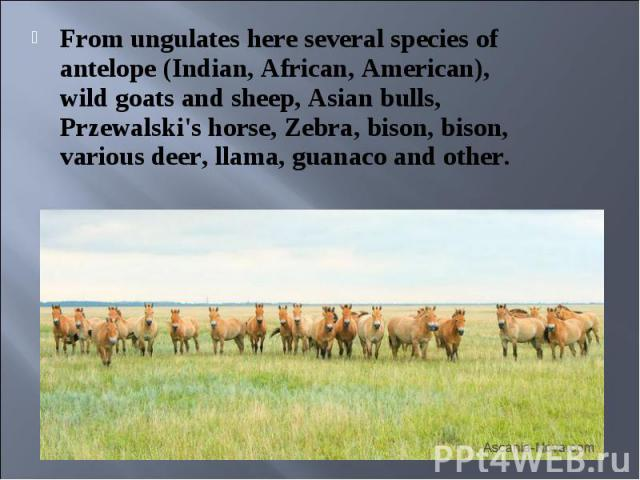 From ungulates here several species of antelope (Indian, African, American), wild goats and sheep, Asian bulls, Przewalski's horse, Zebra, bison, bison, various deer, llama, guanaco and other. From ungulates here several species of antelope (Indian,…