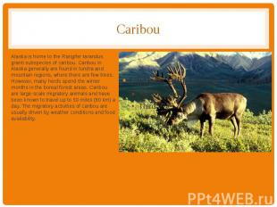 Caribou Alaska is home to the Rangifer tarandus granti subspecies of caribou. Ca