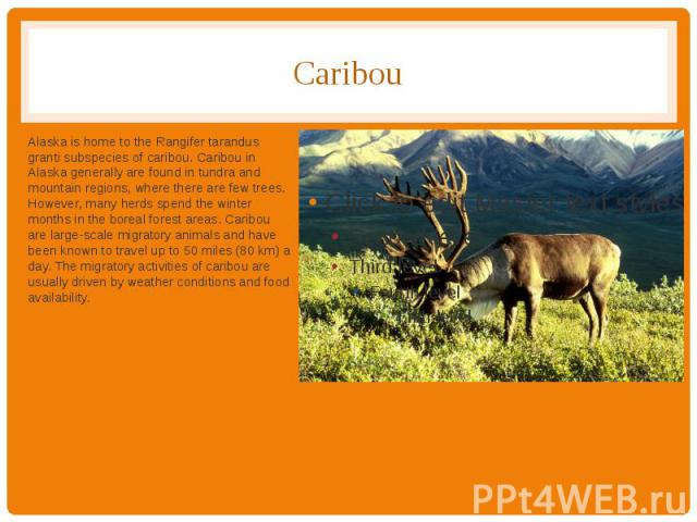 Caribou Alaska is home to the Rangifer tarandus granti subspecies of caribou. Caribou in Alaska generally are found in tundra and mountain regions, where there are few trees. However, many herds spend the winter months in the boreal forest areas. Ca…