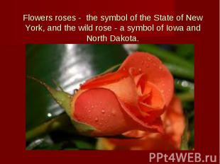 Flowers roses - the symbol of the State of New York, and the wild rose - a symbo