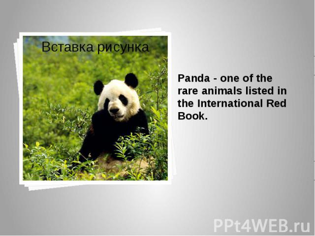 Panda - one of the rare animals listed in the International Red Book. Panda - one of the rare animals listed in the International Red Book.