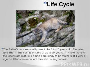 Life Cycle The Pallas's cat can usually lives to be 8 to 10 years old. Females g