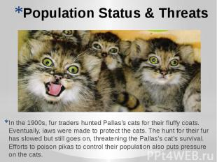 Population Status & Threats In the 1900s, fur traders hunted Pallas's cats f