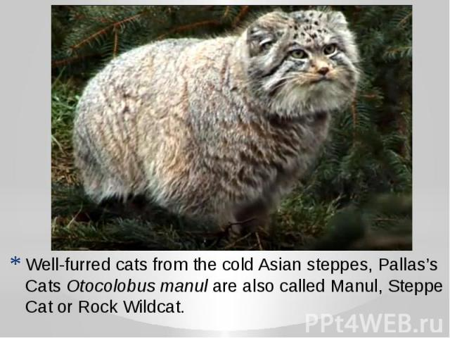 Well-furred cats from the cold Asian steppes, Pallas's CatsOtocolobus manulare also called Manul, Steppe Cat or Rock Wildcat.