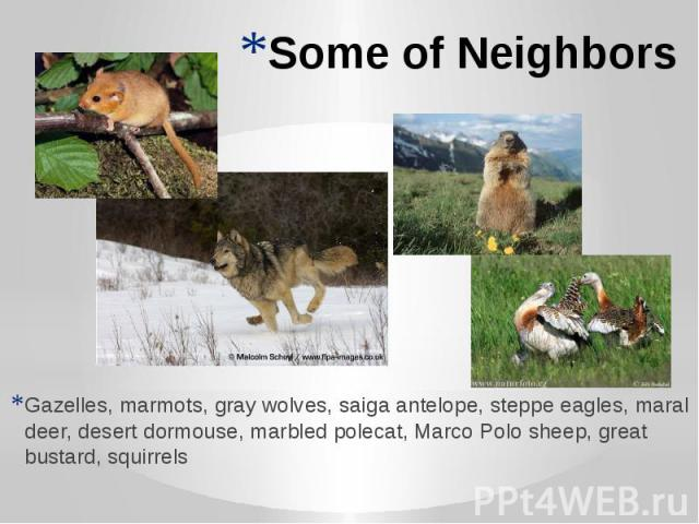 Some of Neighbors Gazelles, marmots, gray wolves, saiga antelope, steppe eagles, maral deer, desert dormouse, marbled polecat, Marco Polo sheep, great bustard, squirrels