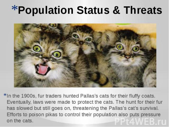 Population Status & Threats In the 1900s, fur traders hunted Pallas's cats for their fluffy coats. Eventually, laws were made to protect the cats. The hunt for their fur has slowed but still goes on, threatening the Pallas's cat's survival. Effo…