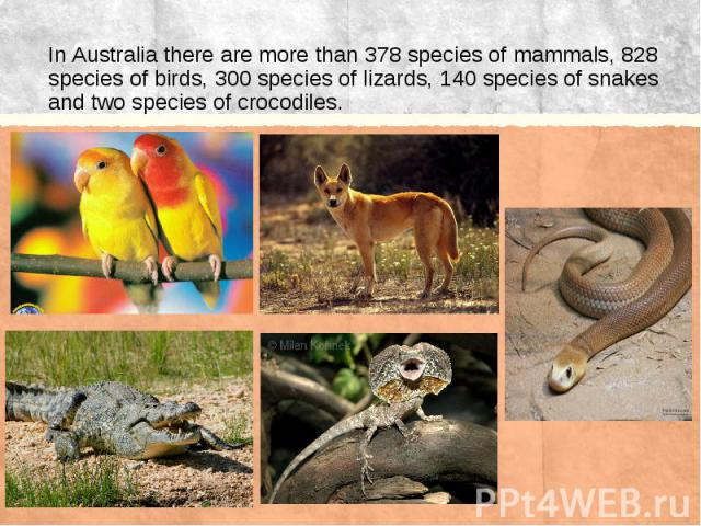In Australia there are more than 378 species of mammals, 828 species of birds, 300 species of lizards, 140 species of snakes and two species of crocodiles.