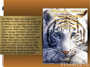 The WhiteTiger is a large and powerfulanimalthat can weigh up