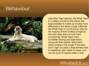 Behaviour Like other Tiger species, the White Tiger is a solitary animal as this