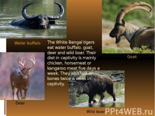 The White Bengal tigers eat water buffalo, goat, deer and wild boar. Their diet