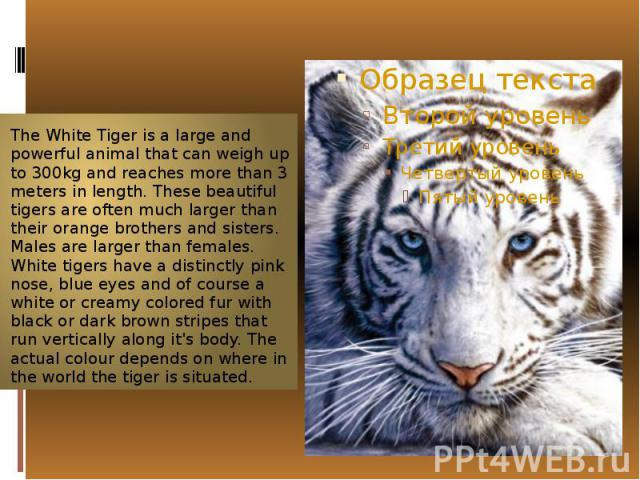 The WhiteTiger is a large and powerfulanimalthat can weigh up to 300kg and reaches more than 3 meters in length. These beautiful tigers are often much larger than their orange brothers and sisters. Males are larger than females. Wh…