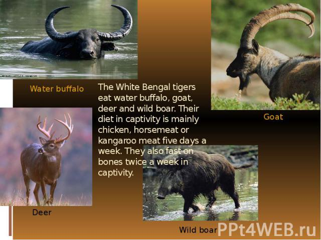 The White Bengal tigers eat water buffalo, goat, deer and wild boar. Their diet in captivity is mainly chicken, horsemeat or kangaroo meat five days a week. They also fast on bones twice a week in captivity.