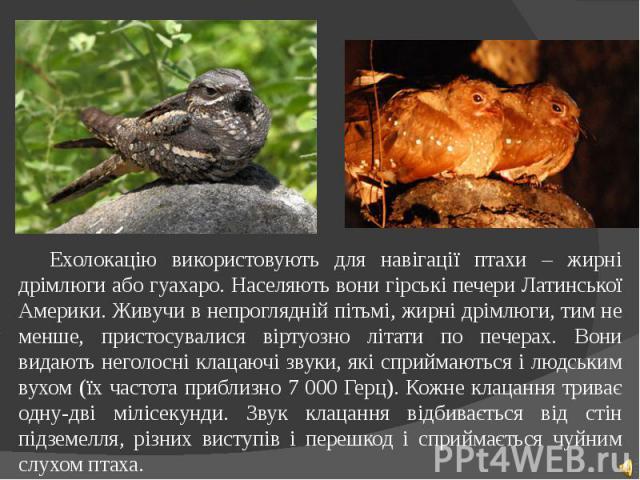 Ехолокацію використовують для навігації птахи – жирні дрімлюги або гуахаро. Населяють вони гірські печери Латинської Америки. Живучи в непроглядній пітьмі, жирні дрімлюги, тим не менше, пристосувалися віртуозно літати по печерах. Вони видають неголо…