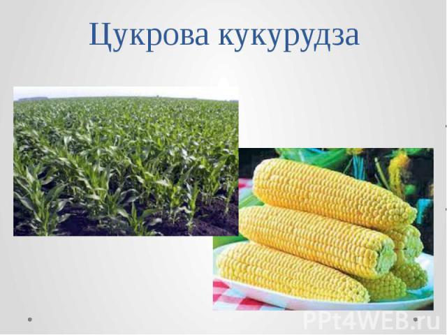 Цукрова кукурудза