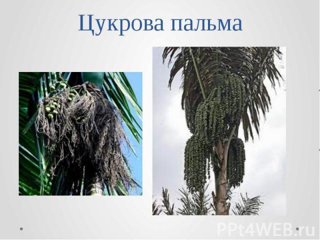 Цукрова пальма