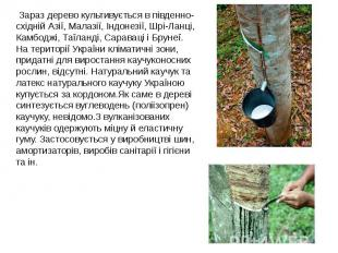 Зараз дерево культивується в південно-східній Азії, Малазії, Індонезії, Шрі-Ланц