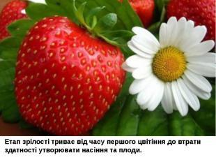 Етап зрілості триває від часу першого цвітіння до втрати здатності утворювати на