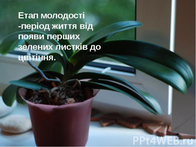 Етап молодості -період життя від появи перших зелених листків до цвітіння. Етап молодості -період життя від появи перших зелених листків до цвітіння.