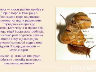 Молюск — хижак рапана прибув в Чорне море в 1947 році з Японського моря на днища