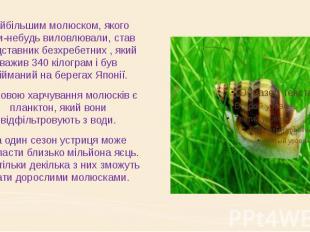 Найбільшим молюском, якого коли-небудь виловлювали, став представник безхребетни