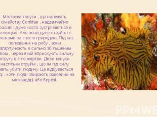 Молюски конуси , що належать сімейству Conidae , надзвичайно красиві і дуже част