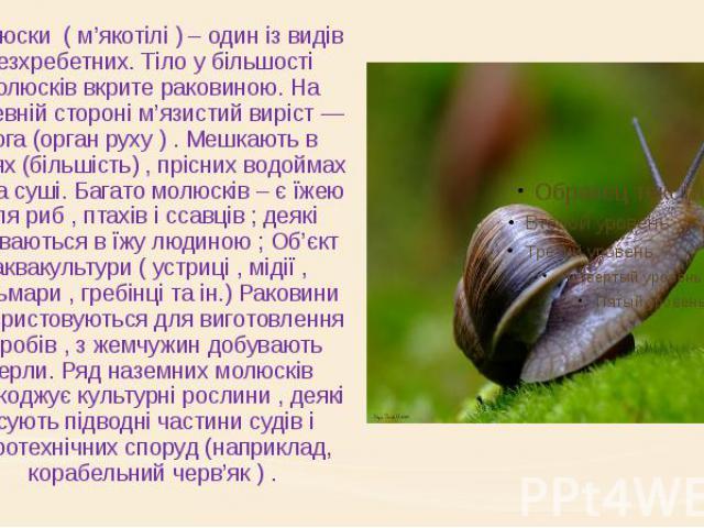 Молюски ( м'якотілі ) – один із видів безхребетних. Тіло у більшості молюсків вкрите раковиною. На черевній стороні м'язистий виріст — нога (орган руху ) . Мешкають в морях (більшість) , прісних водоймах та на суші. Багато молюсків – є їжею дл…