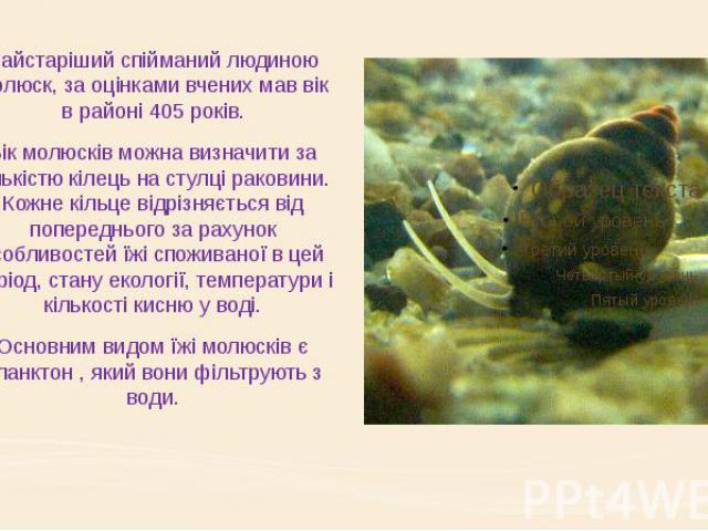 Найстаріший спійманий людиною молюск, за оцінками вчених мав вік в районі 405 років. Вік молюсків можна визначити за кількістю кілець на стулці раковини. Кожне кільце відрізняється від попереднього за рахунок особливостей їжі споживаної в цей період…