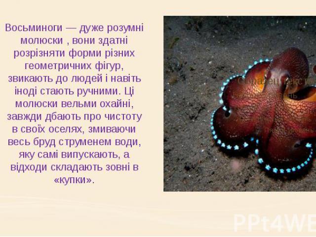Восьминоги — дуже розумні молюски , вони здатні розрізняти форми різних геометричних фігур, звикають до людей і навіть іноді стають ручними. Ці молюски вельми охайні, завжди дбають про чистоту в своїх оселях, змиваючи весь бруд струменем води, яку с…