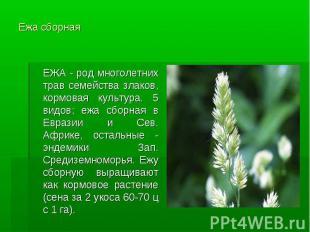 Ежа сборная ЕЖА - род многолетних трав семейства злаков, кормовая культура. 5 ви