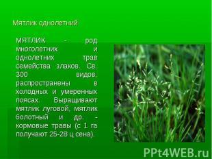 Мятлик однолетний МЯТЛИК - род многолетних и однолетних трав семейства злаков. С