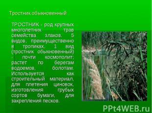 Тростник обыкновенный ТРОСТНИК - род крупных многолетних трав семейства злаков.