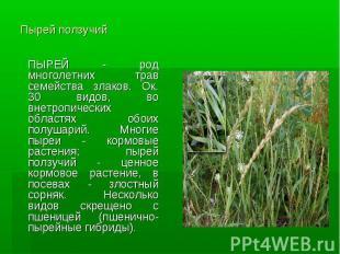 Пырей ползучий ПЫРЕЙ - род многолетних трав семейства злаков. Ок. 30 видов, во в