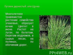 Луговик дернистый, или Щучка Многолетнее травянистое растение семейства злаковых