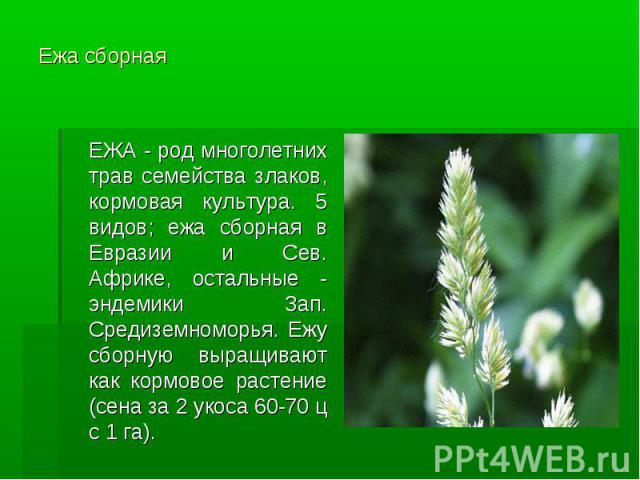 Ежа сборная ЕЖА - род многолетних трав семейства злаков, кормовая культура. 5 видов; ежа сборная в Евразии и Сев. Африке, остальные - эндемики Зап. Средиземноморья. Ежу сборную выращивают как кормовое растение (сена за 2 укоса 60-70 ц с 1 га).