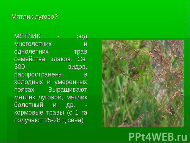Мятлик луговой МЯТЛИК - род многолетних и однолетних трав семейства злаков. Св. 300 видов, распространены в холодных и умеренных поясах. Выращивают мятлик луговой, мятлик болотный и др. - кормовые травы (с 1 га получают 25-28 ц сена).