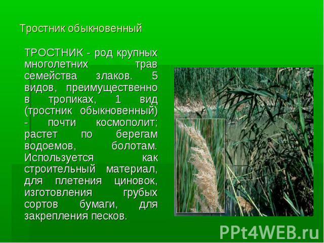 Тростник обыкновенный ТРОСТНИК - род крупных многолетних трав семейства злаков. 5 видов, преимущественно в тропиках, 1 вид (тростник обыкновенный) - почти космополит; растет по берегам водоемов, болотам. Используется как строительный материал, для п…
