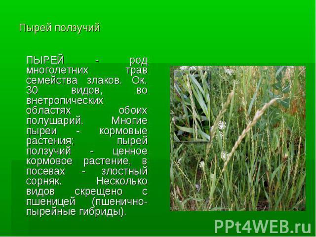 Пырей ползучий ПЫРЕЙ - род многолетних трав семейства злаков. Ок. 30 видов, во внетропических областях обоих полушарий. Многие пыреи - кормовые растения; пырей ползучий - ценное кормовое растение, в посевах - злостный сорняк. Несколько видов скрещен…