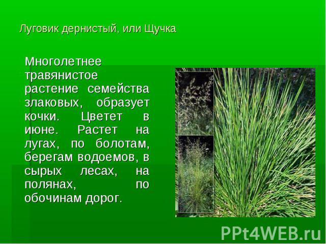 Луговик дернистый, или Щучка Многолетнее травянистое растение семейства злаковых, образует кочки. Цветет в июне. Растет на лугах, по болотам, берегам водоемов, в сырых лесах, на полянах, по обочинам дорог.