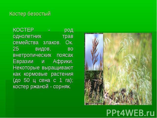 Костер безостый КОСТЕР - род однолетних трав семейства злаков. Ок. 25 видов, во внетропических поясах Евразии и Африки. Некоторые выращивают как кормовые растения (до 50 ц сена с 1 га); костер ржаной - сорняк.
