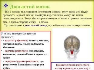Довгастий мозок Він є межею між спинним і головним мозком, тому через цей відділ