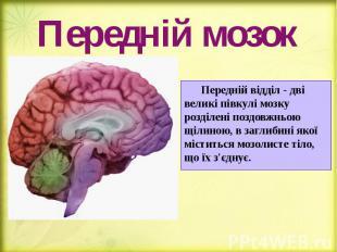 Передній мозок Передній відділ - дві великі півкулі мозку розділені поздовжньою