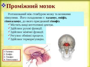Проміжний мозок Розташований між стовбуром мозку та великими півкулями. Його скл