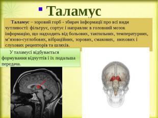 Таламус Таламус – зоровий горб - збирач інформації про всі види чутливості: філь