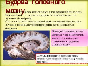 Будова головного мозку Головний мозок складається із двох видів речовин: білої т