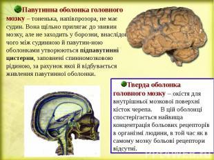 Павутинна оболонка головного мозку – тоненька, напівпрозора, не має судин. Вона