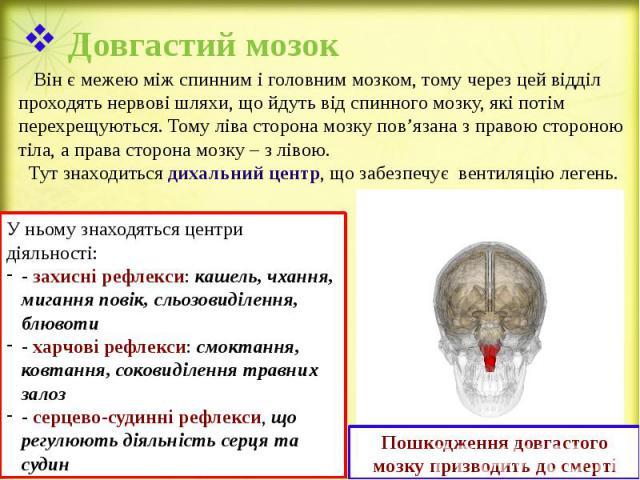 Довгастий мозок Він є межею між спинним і головним мозком, тому через цей відділ проходять нервові шляхи, що йдуть від спинного мозку, які потім перехрещуються. Тому ліва сторона мозку пов'язана з правою стороною тіла, а права сторона мозку – з ліво…