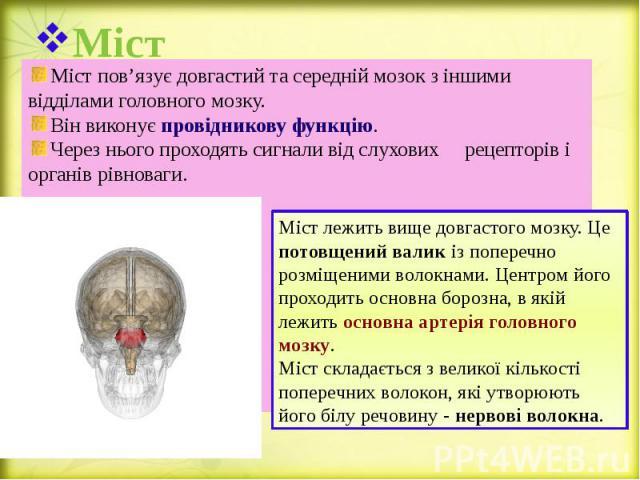 Міст Міст пов'язує довгастий та середній мозок з іншими відділами головного мозку. Він виконує провідникову функцію. Через нього проходять сигнали від слухових рецепторів і органів рівноваги.