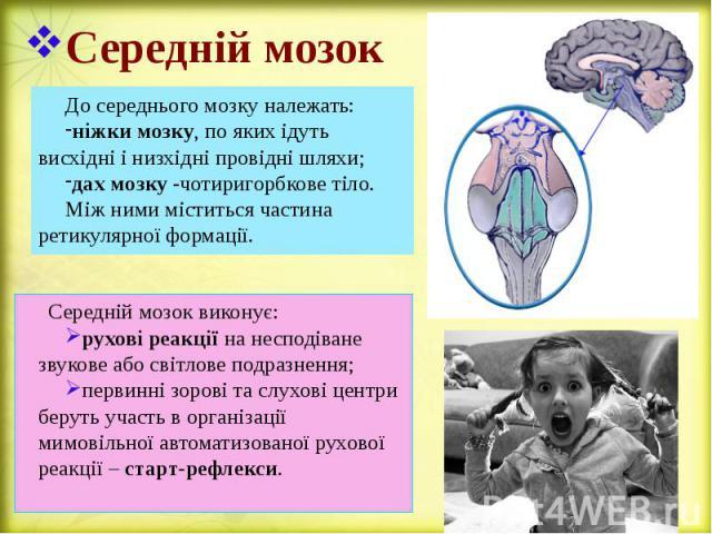 Середній мозок До середнього мозку належать: ніжки мозку, по яких ідуть висхідні і низхідні провідні шляхи; дах мозку -чотиригорбкове тіло. Між ними міститься частина ретикулярної формації.