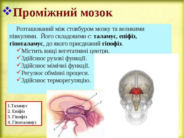 Проміжний мозок Розташований між стовбуром мозку та великими півкулями. Його складовими є: таламус, епіфіз, гіпоталамус, до якого приєднаний гіпофіз. Містить вищі вегетативні центри. Здійснює рухові функції. Здійснює мімічні функції. Регулює обмінні…