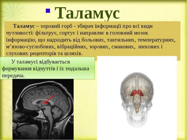Таламус Таламус – зоровий горб - збирач інформації про всі види чутливості: фільтрує, сортує і направляє в головний мозок інформацію, що надходить від больових, тактильних, температурних, м'язово-суглобових, вібраційних, зорових, смакових, нюхових і…